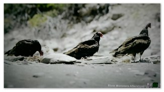 Image of vultures in a Mexican 'shark cemetery'