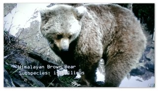 One of the native bears...