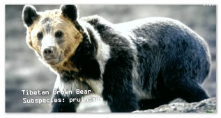 Another one of the native bears...