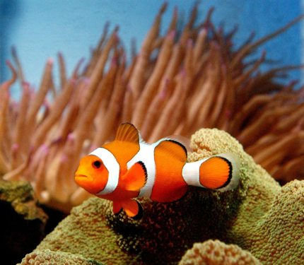 Clownfish that can change sex