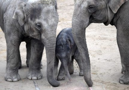 A picture taken on November 9, 2017 shows a one-day old baby Asiatic elephant standing next to his mother Angele, of La Palmyre's zoo in France, and his four-year old sister Asha (L) during his first open-air walk at the elephants enclosure at the Budapest Zoo and Botanical Garden. / AFP PHOTO / ATTILA KISBENEDEK        (Photo credit should read ATTILA KISBENEDEK/AFP/Getty Images)