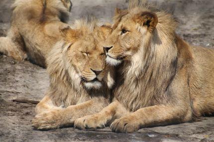Gay animals, homosexual lions