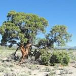 Utah Juniper tree