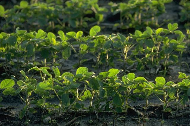Corn field replanted to soybeans.