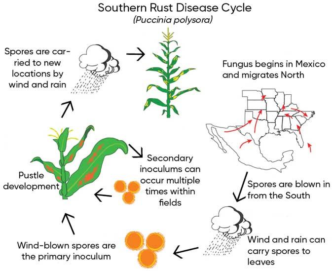Southern Rust Of Corn Pioneer Seeds
