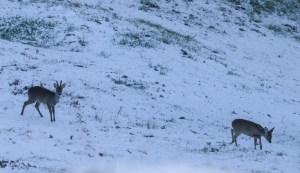 Rehbock und Geiß im Aprilschnee