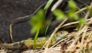 Smaragdeidechse-Weibchen