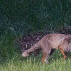 Fuchs mausen