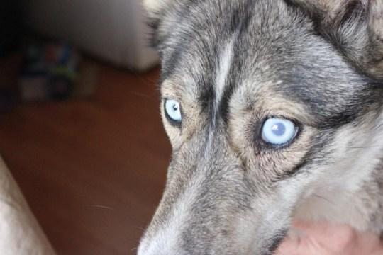 Øyet varierte veldig i utseende, avhengig av trykket. Det kunne bytte mellom å være blått, og grått, flere ganger daglig.