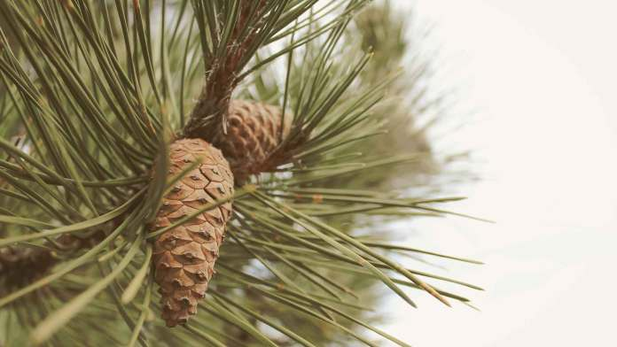 Picking-pine-cones-in-finland