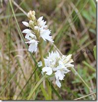 glencoe_orchids