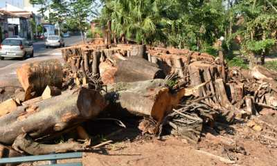 Piracicaba - árvores da Boyes