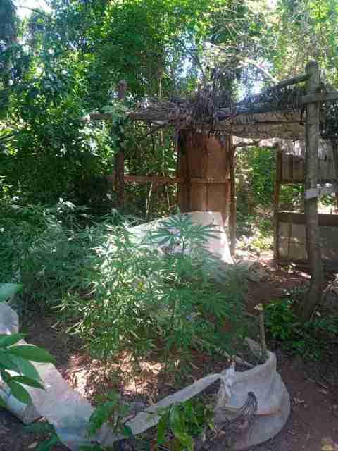Plantação de maconha é encontrada em área rural de Piracicaba