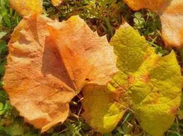 klon zielonokory opięknie przebarwionych liściach