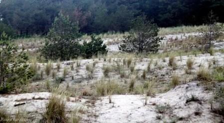 wydmuchrzyca piaskowa i piaskownica zwyczajna