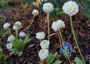 Pierwiosnek lub prymula kwiaty zwiastujące wiosnę