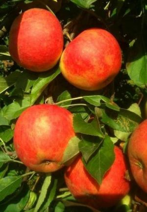 własne jabłka na szarlotkę i soki
