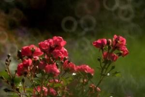 wystawa róż w kutnie