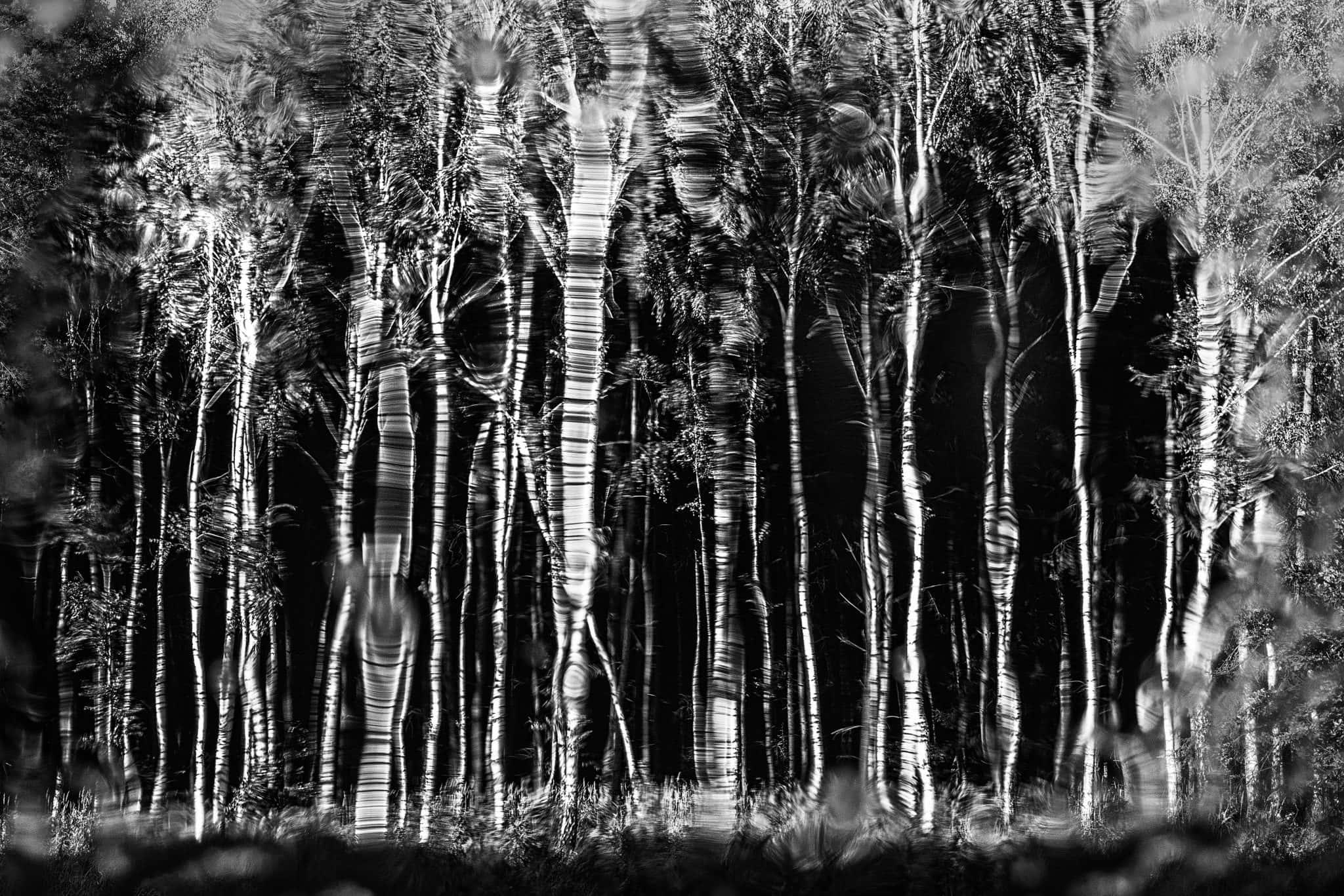 las brzozowy