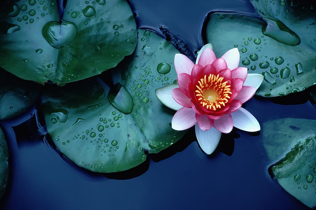 How does the Lotus Flower Clean itself    Pitara Kids Network A otus flower