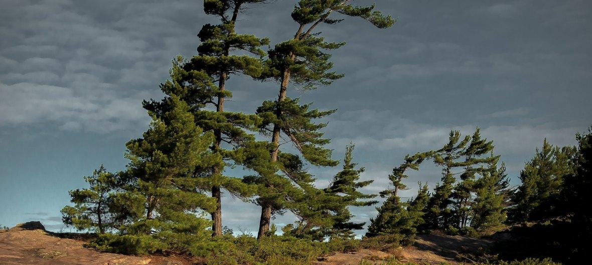Bent trees, Georgian Bay