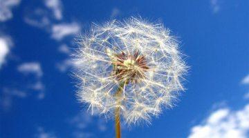 dandelion-wishes