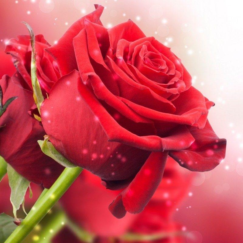 Rose Wallpaper Hd 1080p Free Download Vinny Oleo Vegetal Info