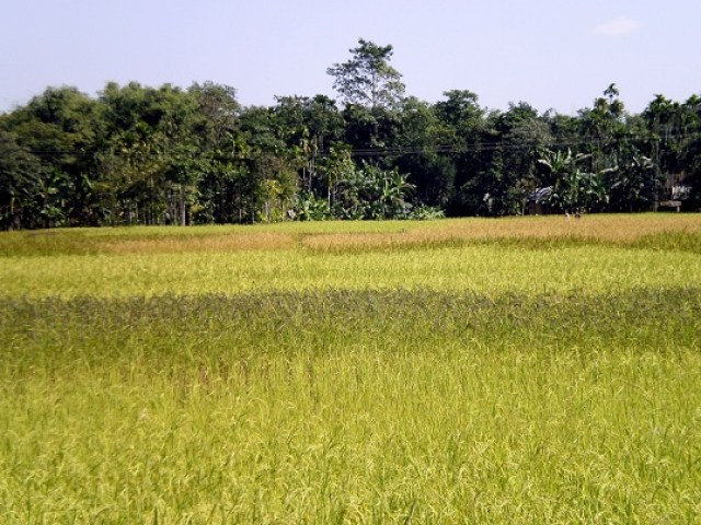 assam rice fields