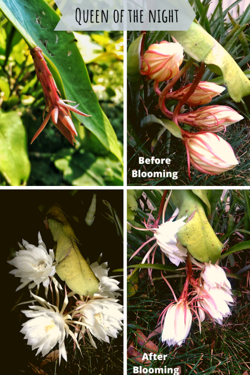Queen of the night or kadupul flower before and after - tan hua