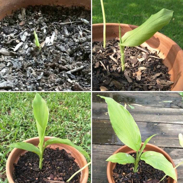 growing turmeric from rhizome