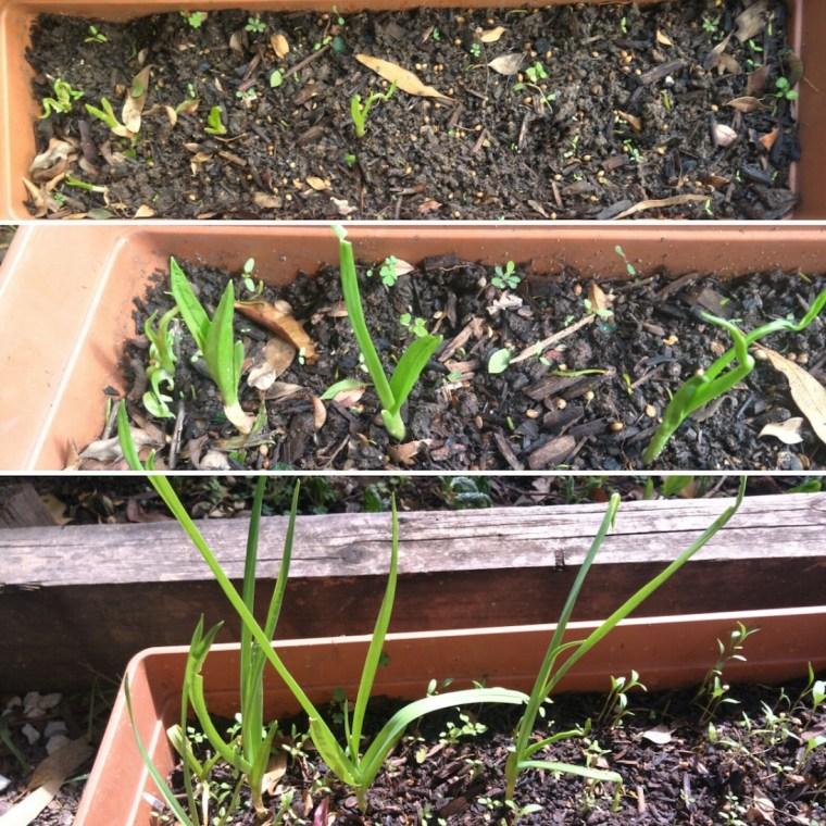 Garlic growing at home