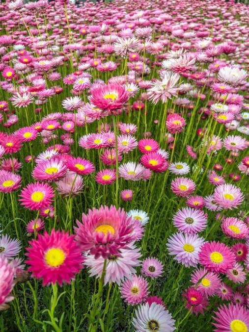 spring flower garden - paper daisy