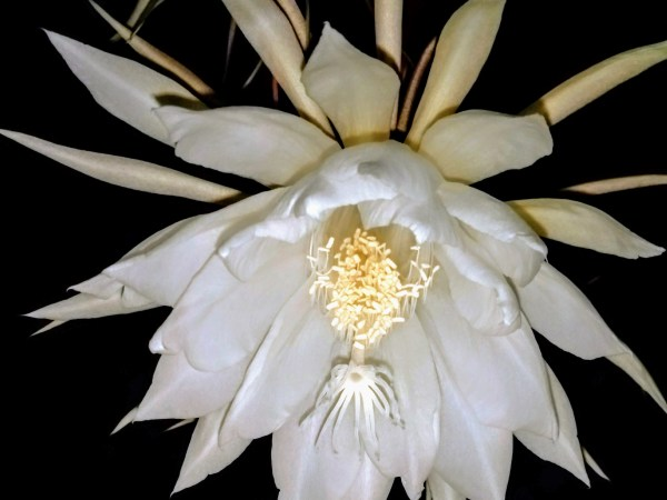 queen of the night flower - tanhua - kadupul -