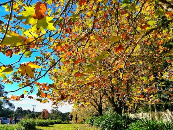 trees with yellow leaves in autumn sydney