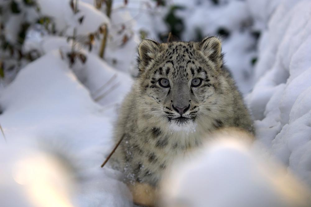 Bildergebnis für schneeleopard in freier wildbahn