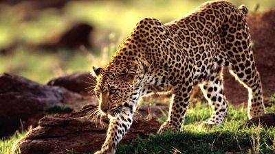 Leopard Wallpapers HD | PixelsTalk.Net