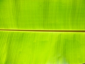 Banana Leaf Backgrounds | PixelsTalkNet