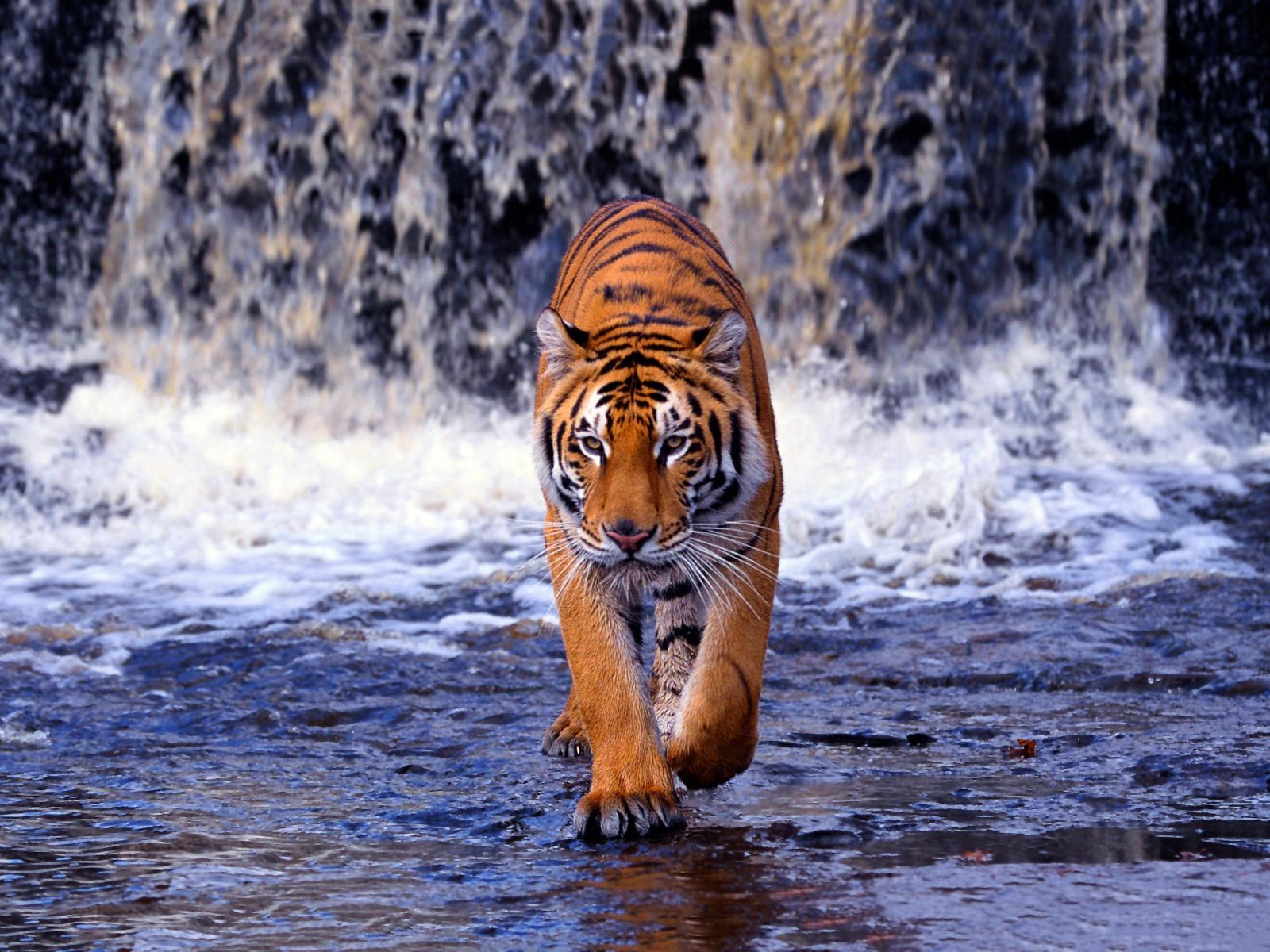 Download Free Bengal Tiger Wallpaper