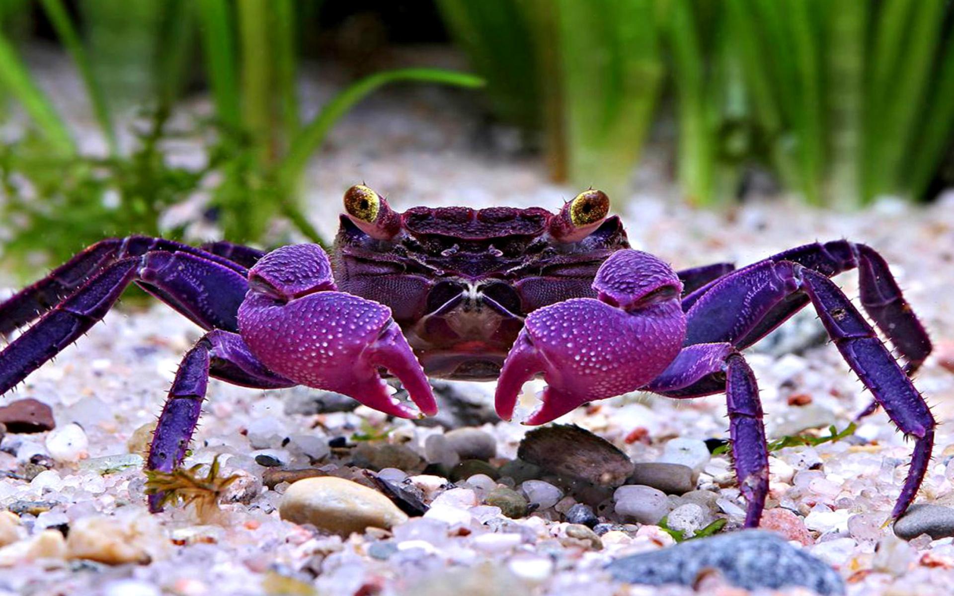 Crab Wallpaper Download Free