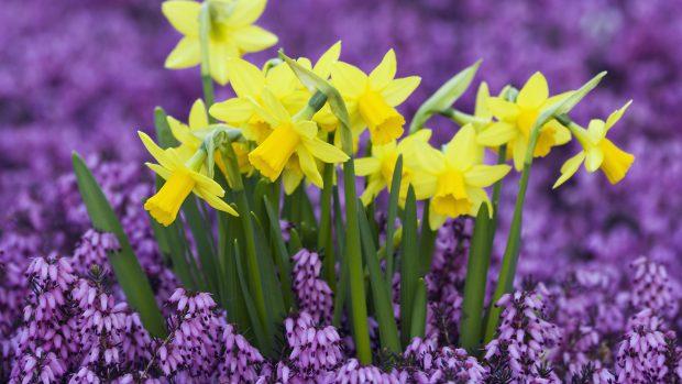 Daffodil Wallpaper Full HD.