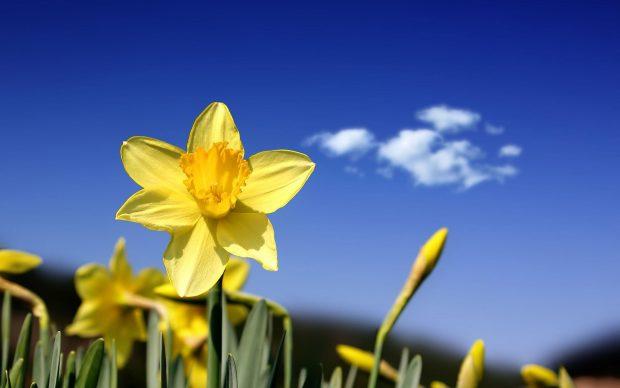 Daffodil Wallpaper HD.