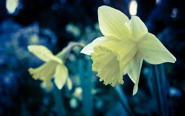 Download Free Daffodil Wallpaper.