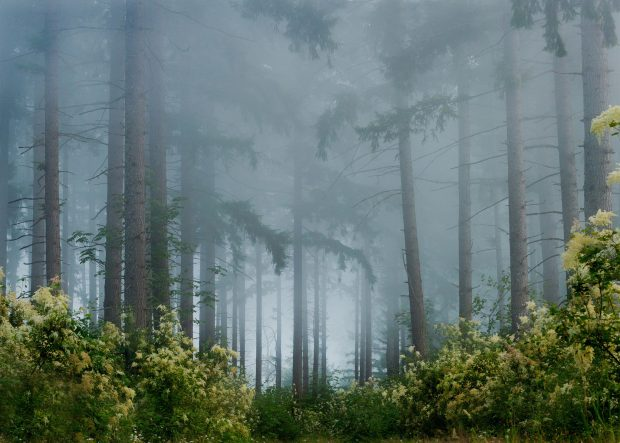 Foggy Pine Forest HD Images Wallpapers.