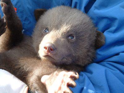 European brown bear cub being held