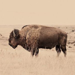 Abundance Bootcamp with Buffalo | SouLodge Earth Medicine School