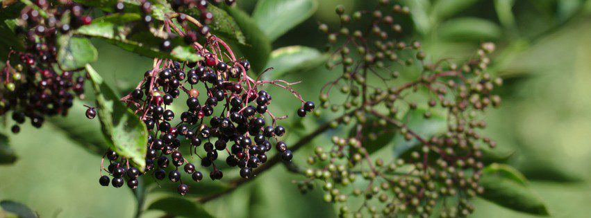 Recipe Box: One Gallon of Elderberry Mead