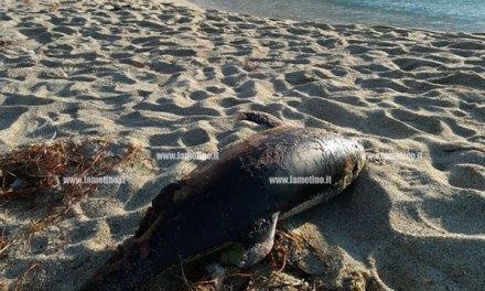 Carcassa di delfino trovata su spiaggia di Pizzo