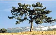 In Calabria nel Parco del Pollino l'albero più vecchio Europa: il pino loricato