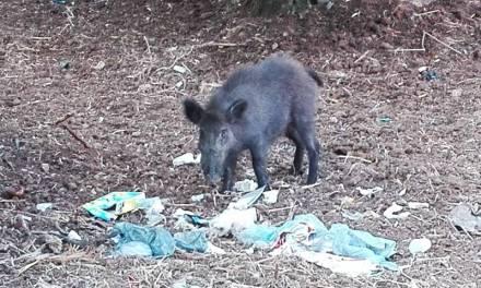 Cinghiali a Pizzo, Paolillo: «Animali attratti dai rifiuti. Prima dell'abbattimento serve civiltà»