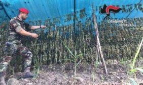 Un'altra piantagione di marijuana scoperta nel Vibonese – Corriere della Calabria